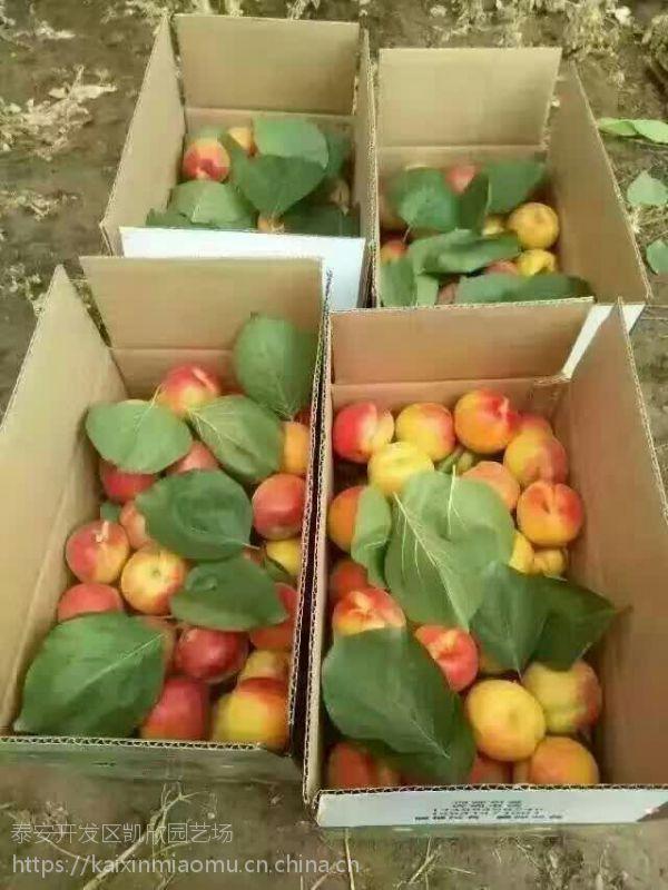 秦杏一号杏苗多少钱一颗 秦杏一号杏苗种植方法