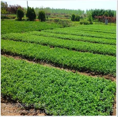 沭阳冬青小苗价格便宜 是因为沭阳是冬青小苗的主要产地