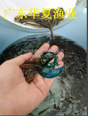 生鱼苗/2018年杂交生鱼苗/广东生鱼苗批发