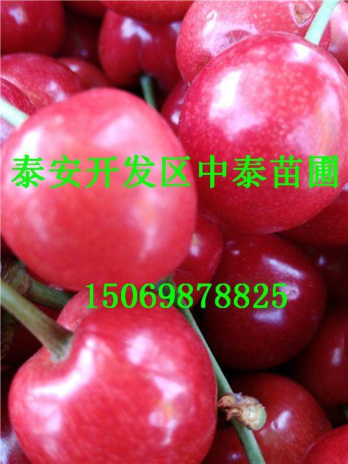 天津3公分红蛇果苗示范园