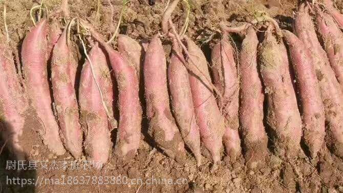 高产红薯苗-亩产万斤豫薯868红薯苗