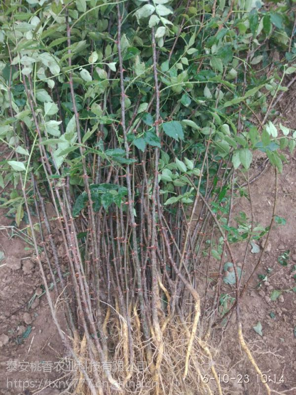 花椒树苗价格,山东1米5高花椒树苗批发