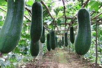 河北时丰农业科技开发蔬菜种子小冬瓜A2