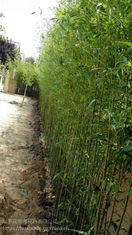 购买竹子苗就到竹子基地,早园竹,金镶玉竹,紫竹出售