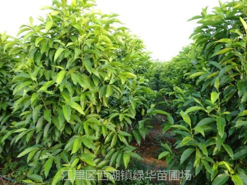 重庆黄角兰 重庆黄角兰树黄角兰苗供应 优质基地黄角兰苗