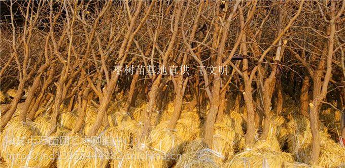 枣树苗基地批发低价供应
