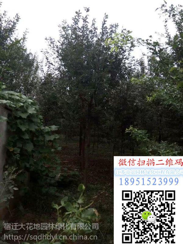 湖南地区地径3公分流苏树价格多少钱一棵报价15元每棵行道树流苏小苗基地
