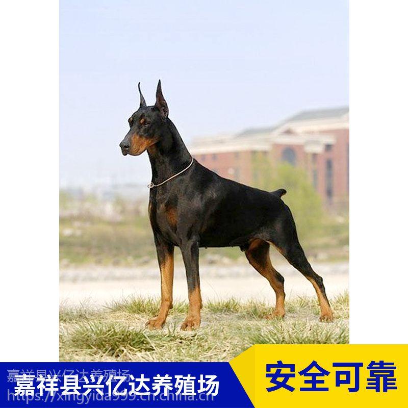 嘉祥县兴亿达特种幼年杜宾犬狗宝宝养殖场供应