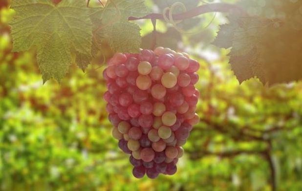 葡萄果实发育期氮肥的重要性