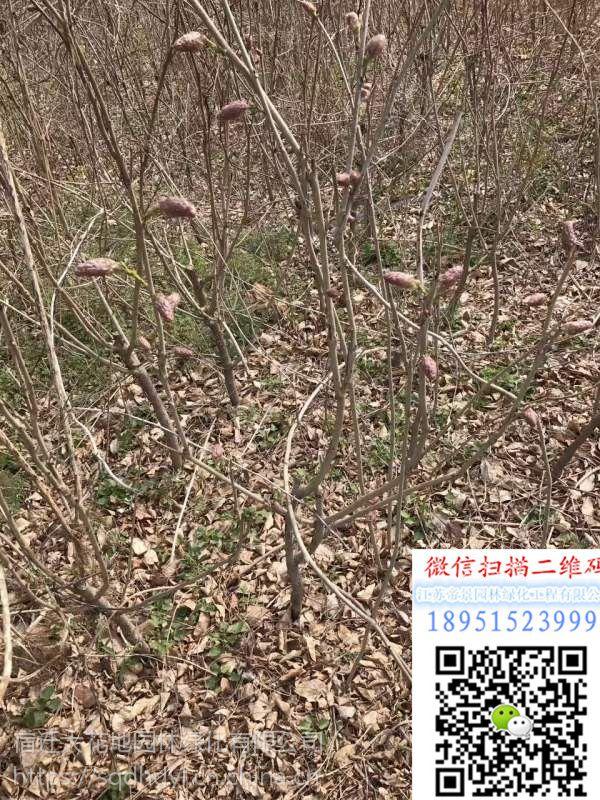 2018年江苏地区爬藤植物地径1公分紫藤树苗价格多少钱一棵地被植物基地