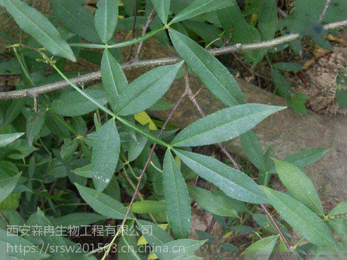 森冉生物竹叶椒提取物/野花椒提取物/山花椒提取物
