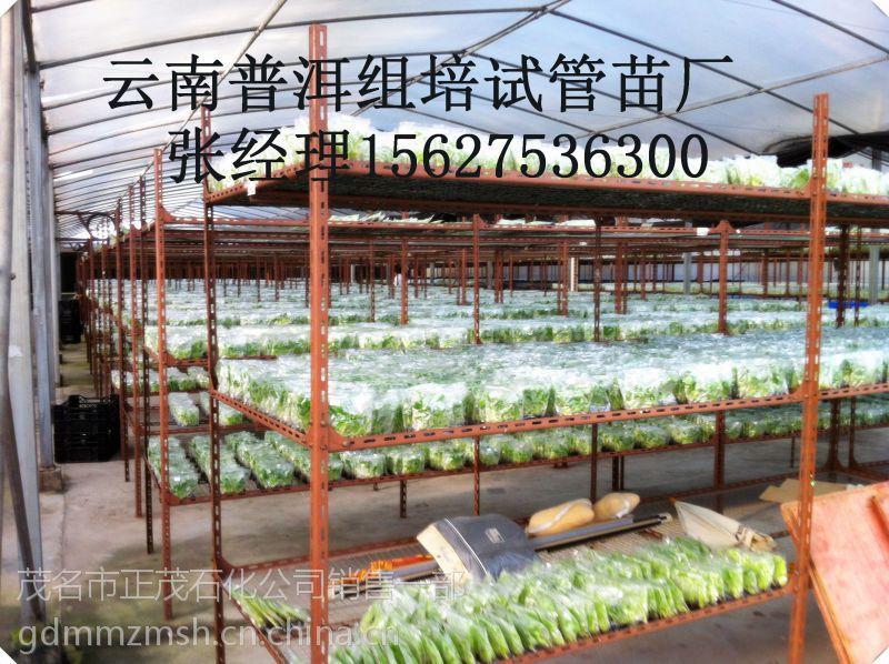 本场常年供应香蕉苗,西贡蕉苗,金粉1号粉蕉苗等种苗