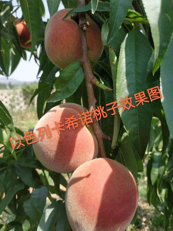 用卡希诺智能肥种出来的桃子
