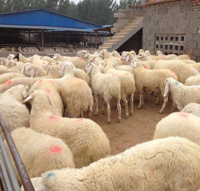 榆社县小尾寒羊育肥技术,寿阳县小尾寒羊羊圈建设
