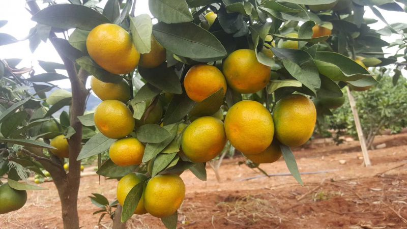 最早的柑橘品种  大分一号柑橘苗价格   特早熟苗