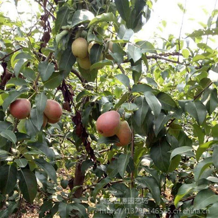 晚红香酥梨树苗多少钱一棵 晚红梨树苗价格怎么样 晚红香酥梨哪里有卖 找泰安恒源园艺场