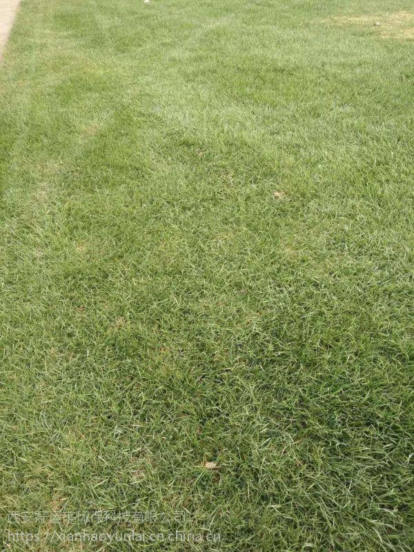 供应冬季绿化专用草坪