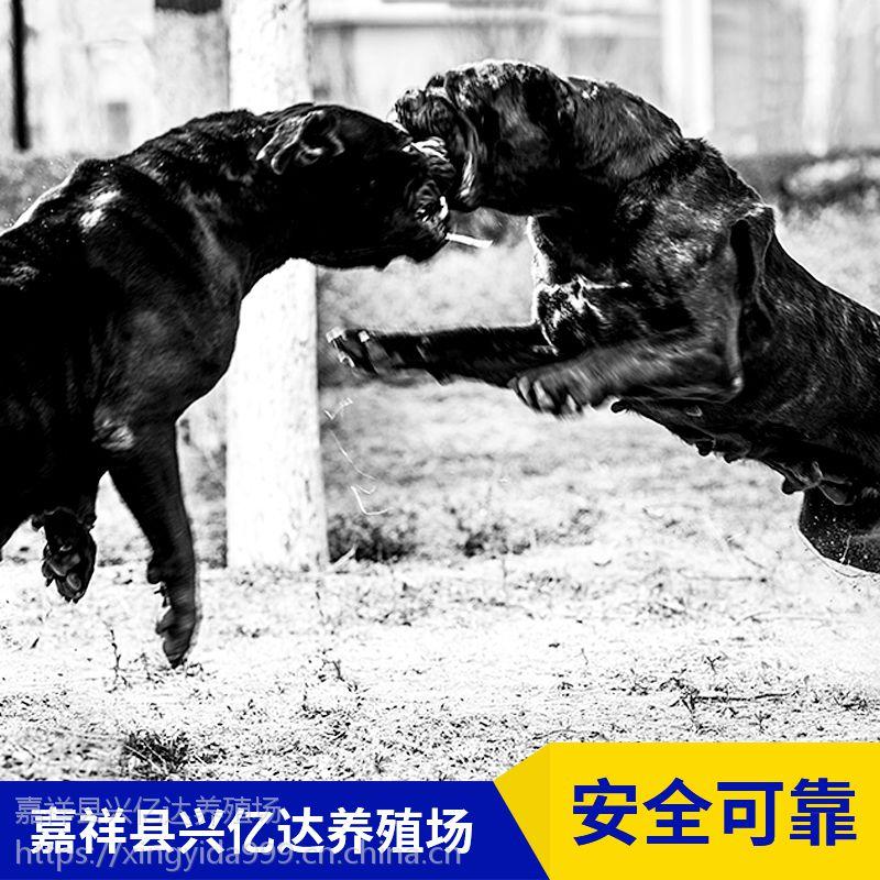 嘉祥县兴亿达纯种卡斯罗犬小狗养殖场报价