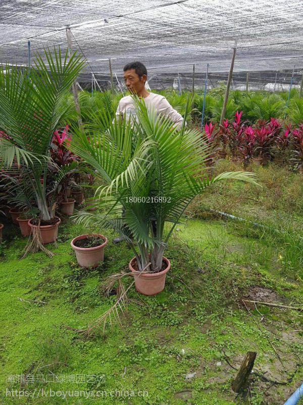广西国王椰子报价,广西国王椰子质量保证