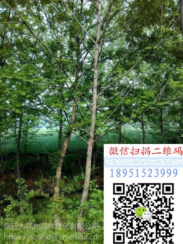 2018年江苏米径8公分枫杨树价格多少钱风景树行道树基地