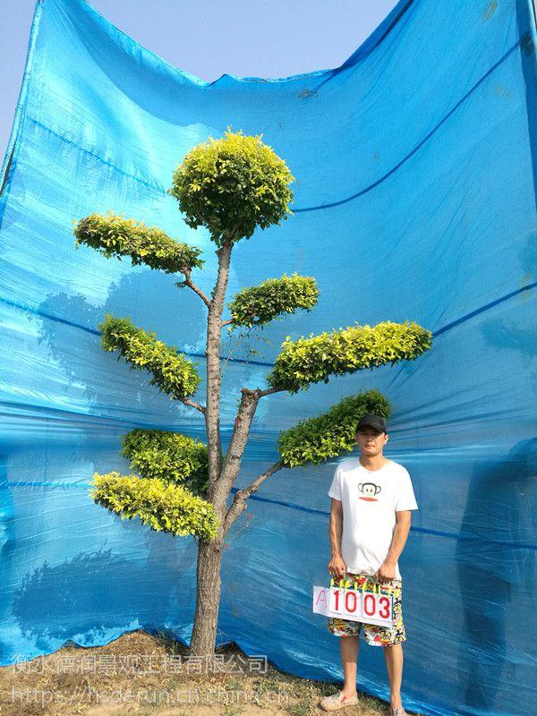 造型金叶榆/景观树/风景树/园林绿化树木/庭院景观树/大型风景树