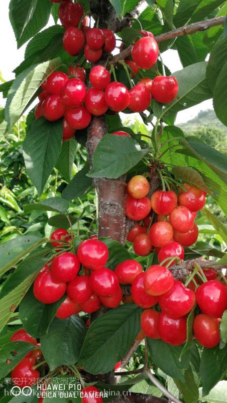 南早红樱桃苗多少钱一颗 南早红樱桃苗种植方法