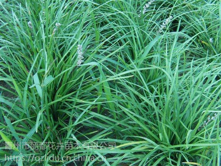 青州麦冬草种植基地【青州麦冬价格】