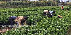 象州哪里有优质世纪红柑橘苗卖
