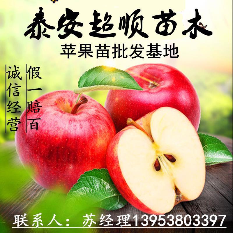 苹果树苗嫩光两年苗单价批发质优价低品种更好