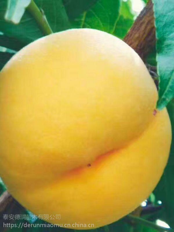 黄金蜜4号桃树苗品种特性 黄金蜜4号桃树苗多少钱一棵