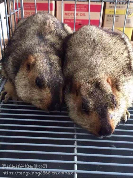 土拨鼠价格哪里有卖旱懒土拨鼠的