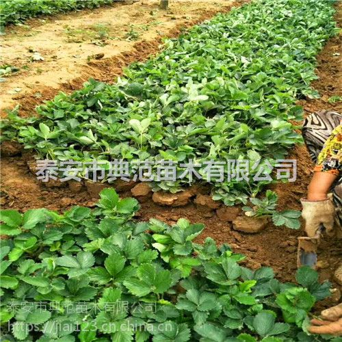 春香草莓苗价格 春香草莓苗 植株健壮根系发达