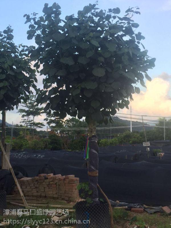 四川黄槿冠幅250公分可上门看货,黄槿假植苗口碑好风景树