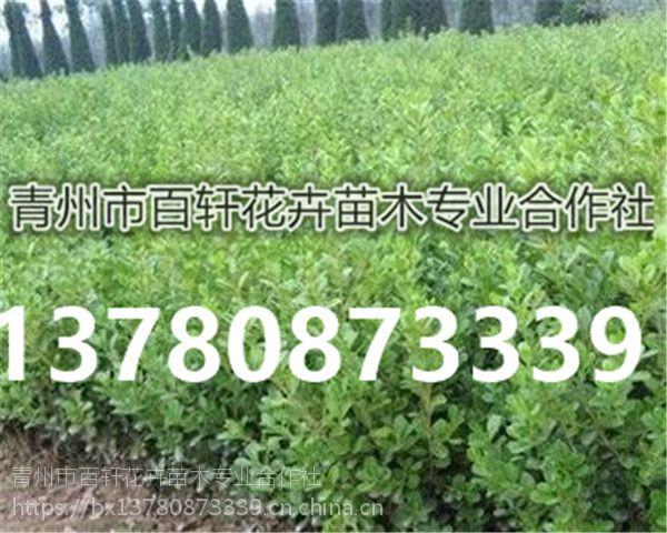 山东青州市小叶黄杨幼苗栽植基地,青州百轩花卉苗木
