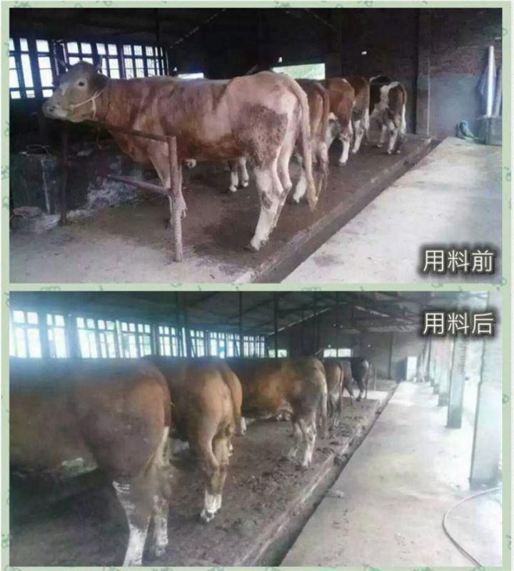 酒糟育肥牛中国牛羊饲料排名
