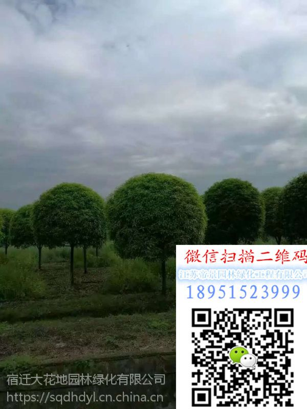 湖南地区地径10公分桂花树价格多少钱一棵报价535元桂花小苗多少钱一棵