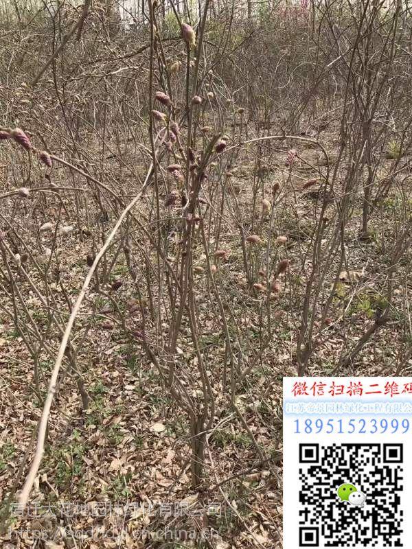 2公分日本紫藤小苗价格2018年日本紫藤价格多少钱一棵棚架绿化苗基地