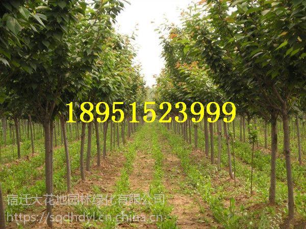 江苏地区地径8公分晚樱花价格 多少钱一棵 报价200元每棵 樱花小苗
