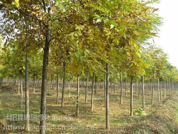 栾树价格哪里比较便宜 江苏8公分9公分栾树近期卖出价格