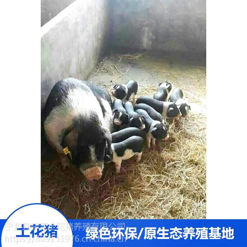 湖南宁乡土花猪生态野生供应 种猪精排瘦肉厂家销售