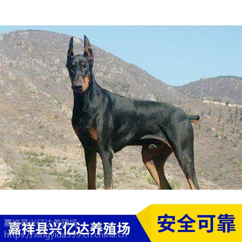 嘉祥县兴亿达纯种杜宾犬工作犬销售