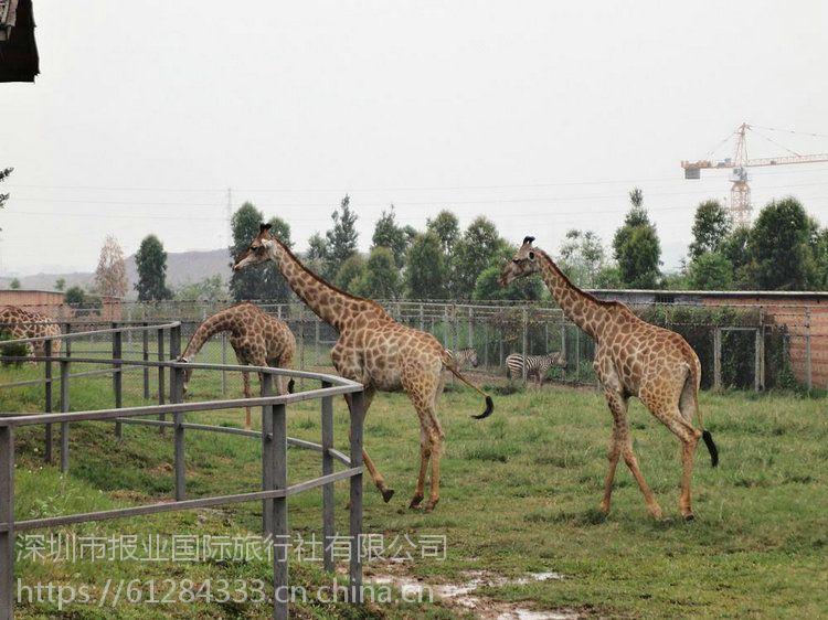 【深圳周边亲子游景点推荐】东莞香市动物园、影视城穿越体验一天亲子游