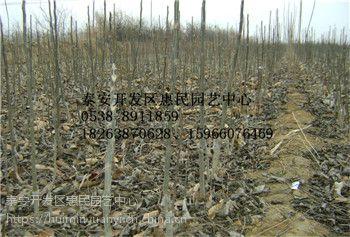 山东临沂甜山楂 莱芜黑 泰山红山楂苗种植i基地 农户直销 价格便宜
