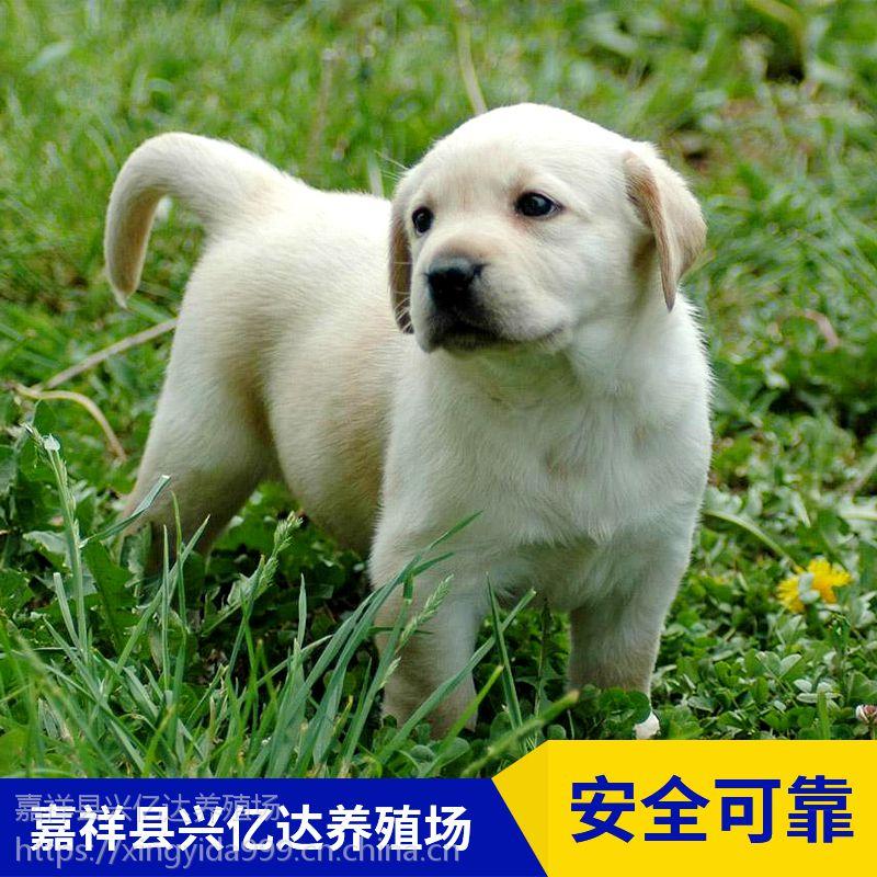 嘉祥县兴亿达正品拉布拉多工作犬养殖场价格