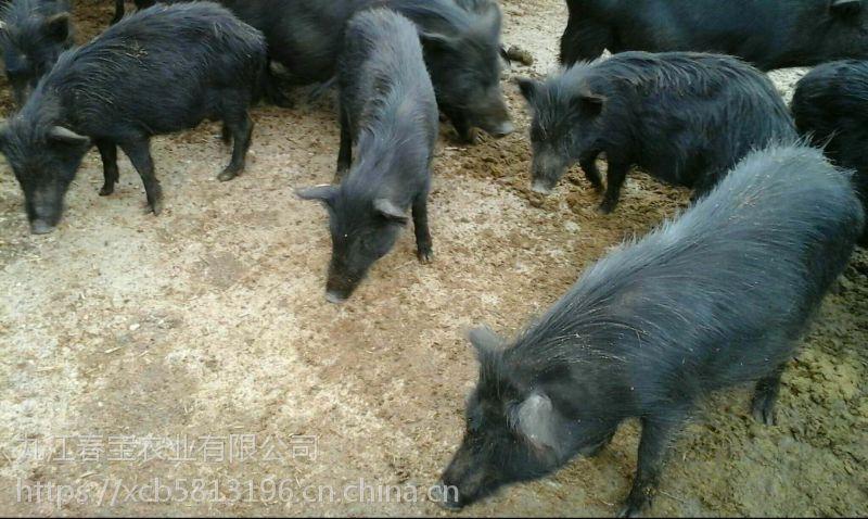 安徽桐城藏香猪价格多少一斤