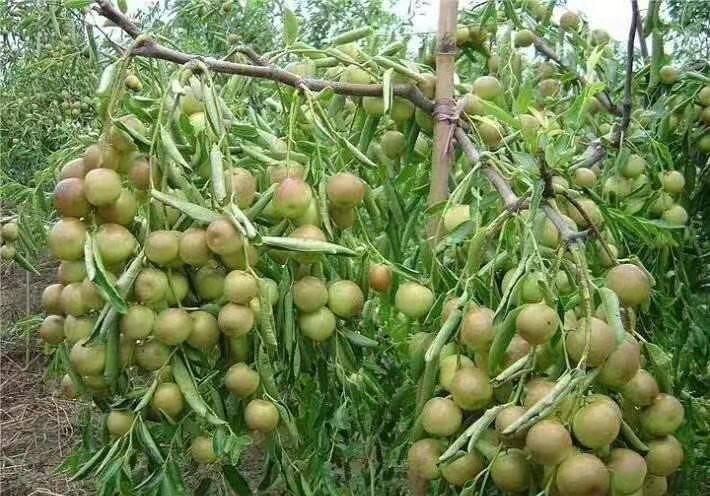 枣树苗1-10公分的栽培技术