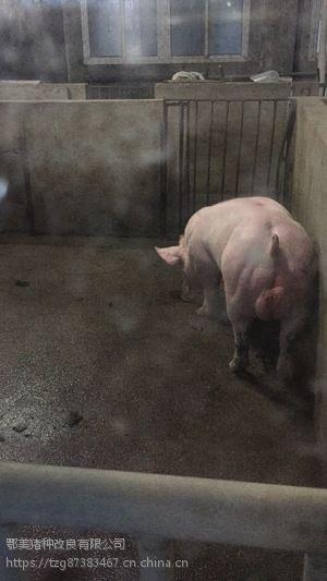 鄂美PIC终端402公猪