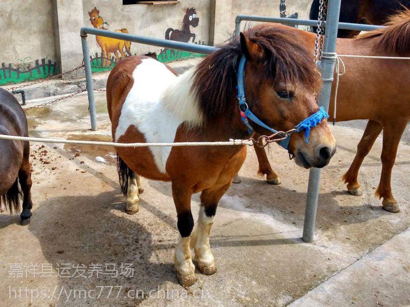 矮马观赏景区直供矮马 专业矮马供应商
