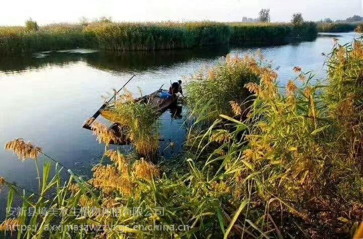 大量供应销售河北白洋淀境美芦苇苗18833230022