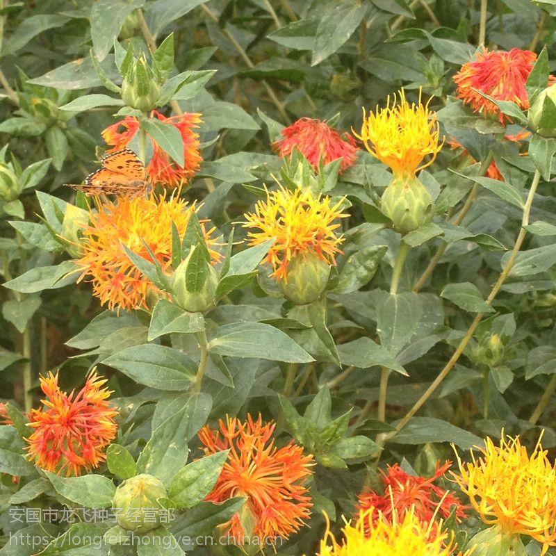 """新疆红花种子""""原种一代籽""""发芽率高,纯白色,半年收-中药材种子交易网"""